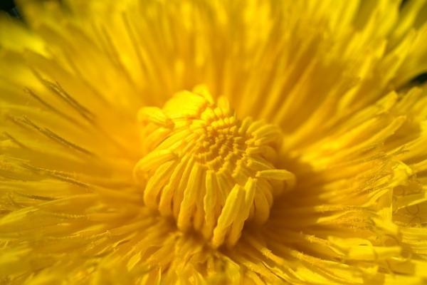 Dettaglio del fiore di tarassaco
