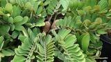 Zamia: coltivazione di una pianta tropicale in casa