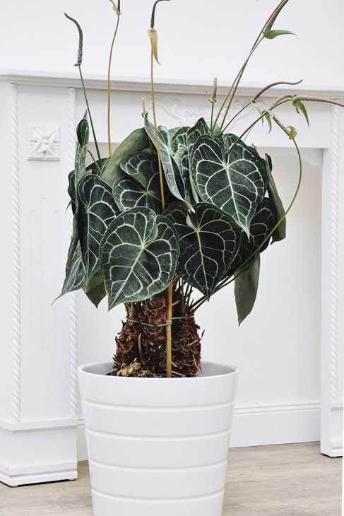 Più brio con l'Anthurium clarinervium, da palmenmann.de