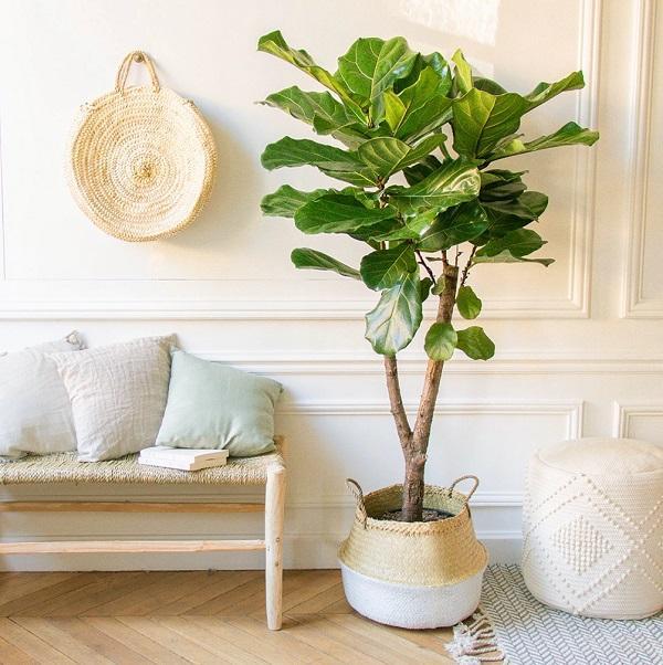 Effetto paesaggio con il Ficus lyrata, da ek-archi.fr