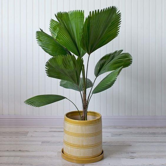Il fascino orientale di Licuala grandis, da whiteflowerfarm.com
