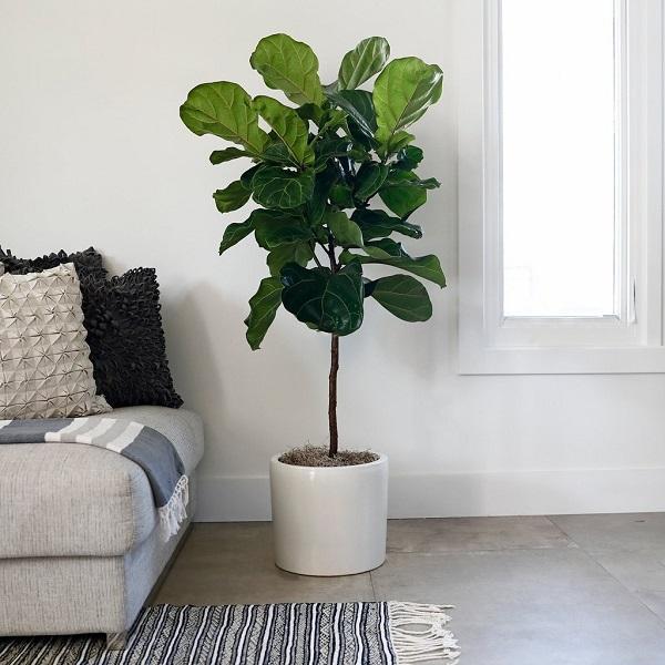 Un Ficus lyrata vicino al divano, da shop.rogersgardens.com