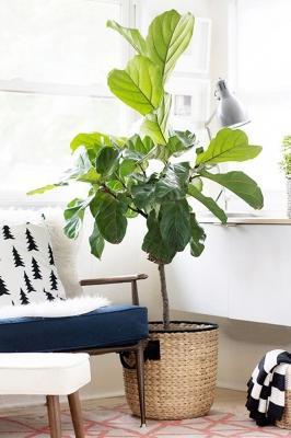 Il Ficus lyrata, da elmueble.com
