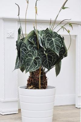 L'Anthurium clarinervium, da i.pinimg.com