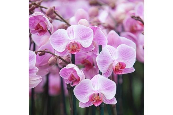 Piante in idrocoltura Orchidea