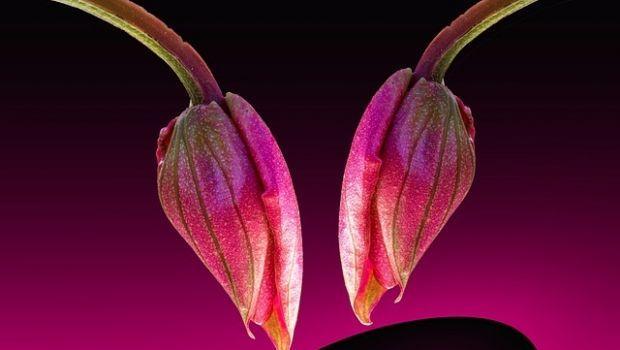 Coltivazione della Medinilla, scenografica pianta ornamentale