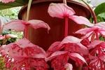 Fioritura della Medinilla: pianta tropicale da interni