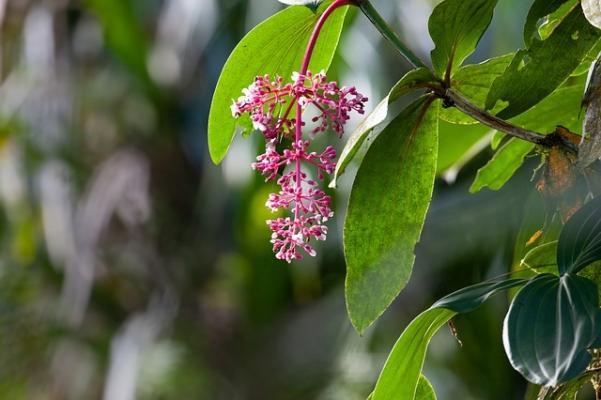 Medinilla: pianta tropicale