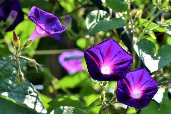 Ipomea pianta fiorita rampicante