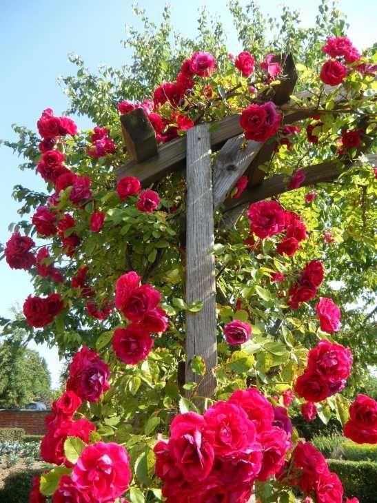 Rosa rampicante fiorita