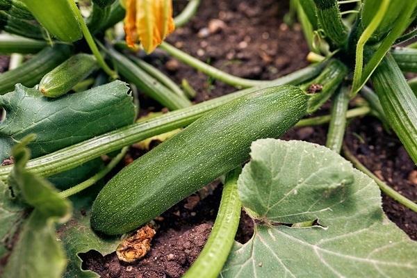 Orto domestico zucchina