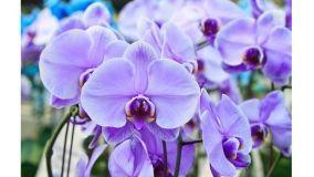 Come coltivare l'Orchidea Phalaenopsis in casa e in giardino