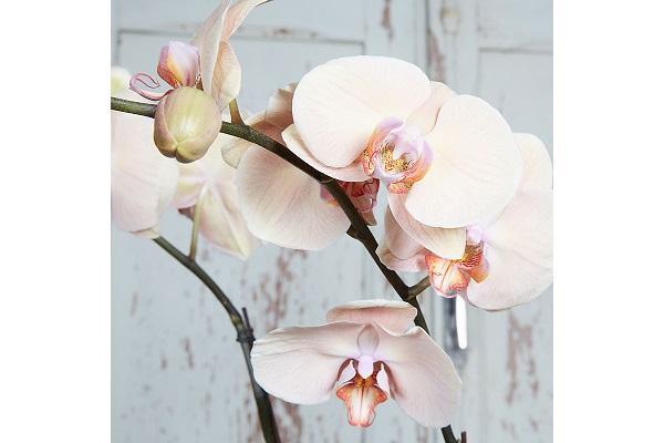Orchidea Phalaenopsis boccioli da floralcraftman.com.au