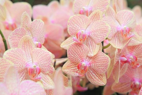 Orchidea Phalaenopsis rosa
