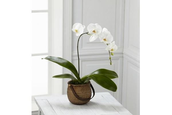 Orchidea Phalaenopsis in vaso da albuquerqueflorist.com