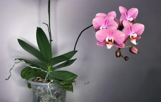 Orchidea Phalaenopsis da herebutnot.com