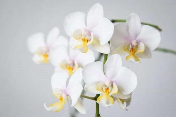 Orchidea Phalaenopsis bianca da smartgardenguide.com