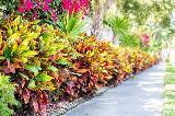 Croton pianta da interno con le foglie colorate