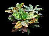 Fogliame Croton Variegatum