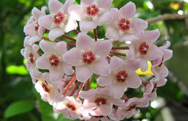 Boccioli fiore di cera da epicgardening.com