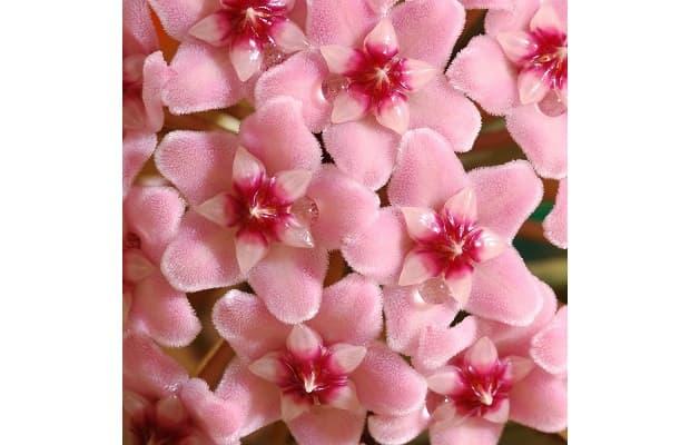 Fiore di cera rosa da wairosegarden.com