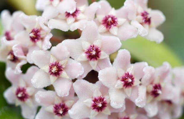Pianta fiori di cera