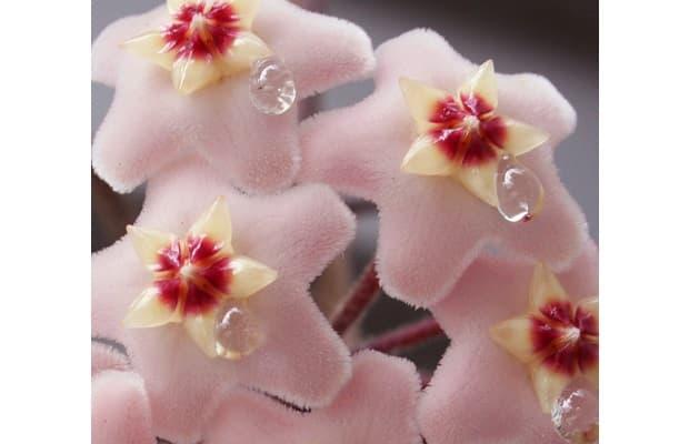 Dettaglio pianta fiore di cera da livingproofdesign.com