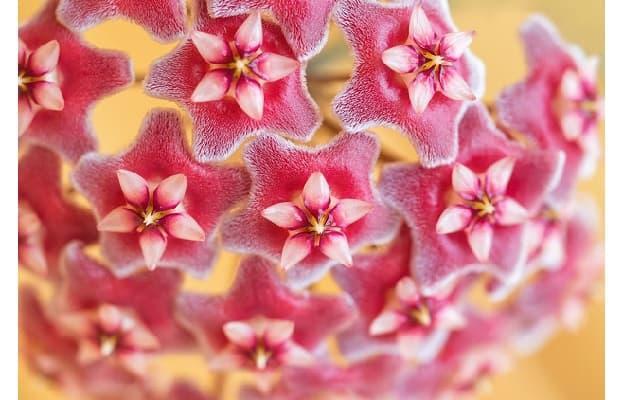Fiori di cera rosa scuro