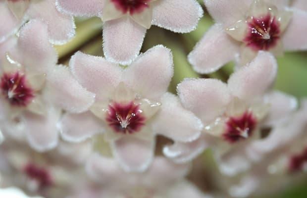 Boccioli fiori di cera da parade.com