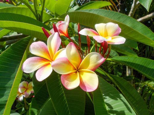 Pomelia pianta fiorita esotica