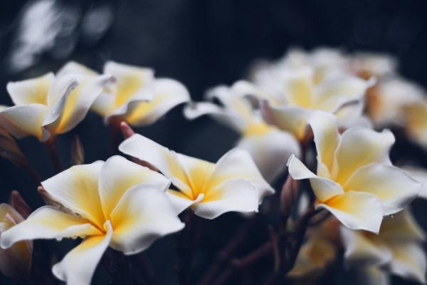Fiori bianchi di plumeria