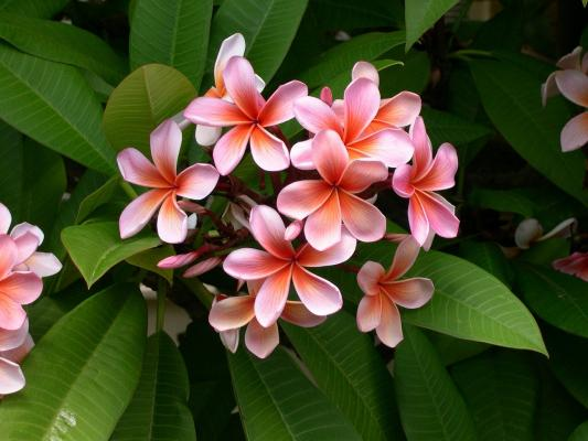 Pianta fiorita frangipane