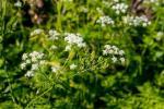 Cicuta maculata, fiori bianchi