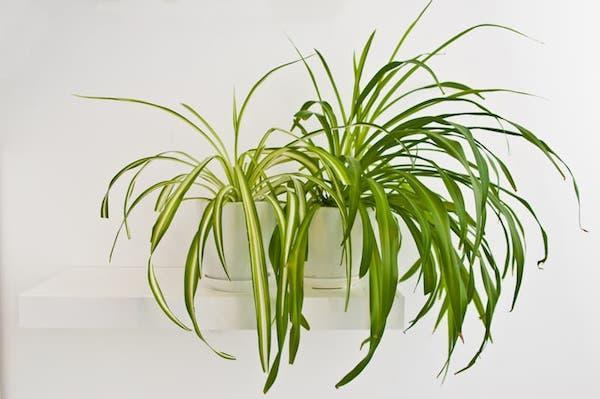 Piante da libreria: chlorophytum comosum