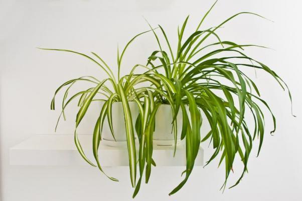 Piante da libreria: Chlorophytum comosum o pianta ragno