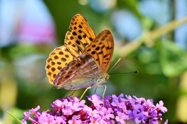 Piante attira farfalle