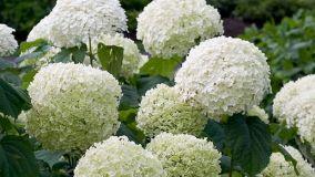 Coltivazione dell'ortensia Annabelle in giardino o in vaso