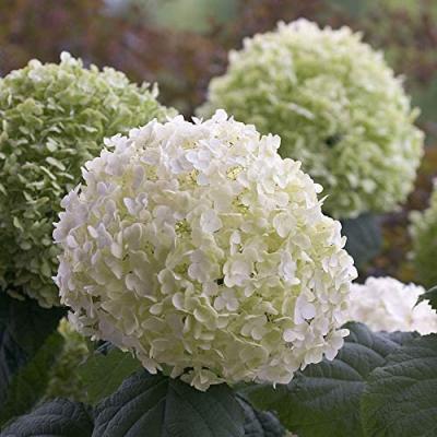 Pianta fiorita Hydrangea arborescens Annabelle Ortensia bianca