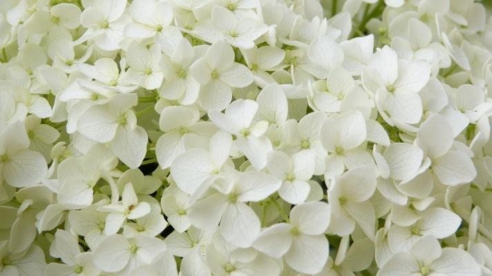 Ortensia Annabelle fioritura bianca