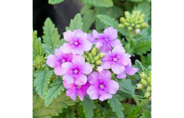 Fiore di Verbena da gardeningknowhow.com