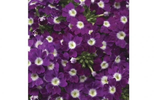 Verbena ibrida da lucasgreenhouses.com