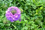 Bocciolo Verbena da fairviewgardencenter.com