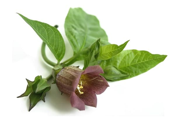 Belladonna fiore
