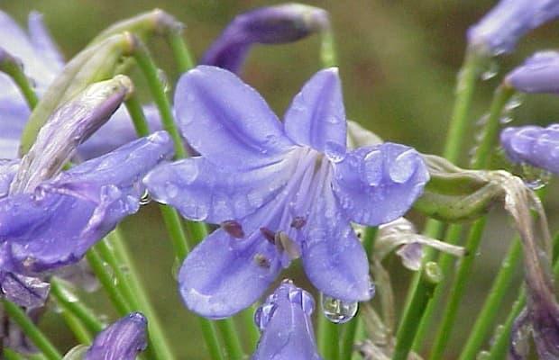 Agapanto lilla da wikipedia.org