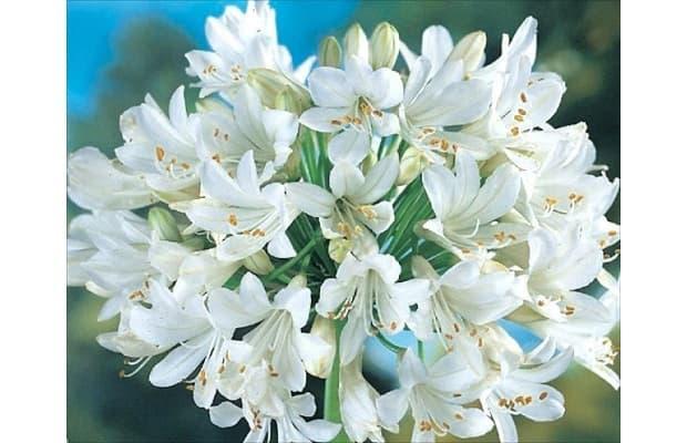 Agapanto fioritura da amazon.uk