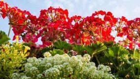 Guida alle piante profumate sul balcone: coltivazione e cura