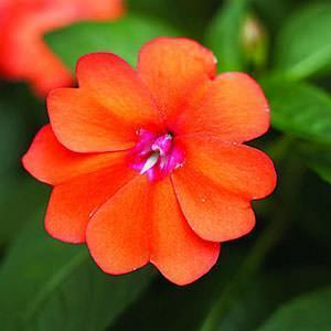 Impatiens:fiore