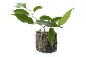 Ficus (Ficus benjamina)