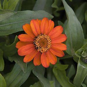 Zinnia elegans Profusion Orange