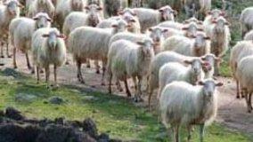 Lana di pecora come isolante